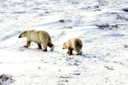 A mother and cub polar bear walking across the snow photo