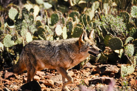 A coyote in the desert looking for a meal Stock Photo