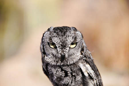 A small western screech owl with attitude Stock Photo - 6519570