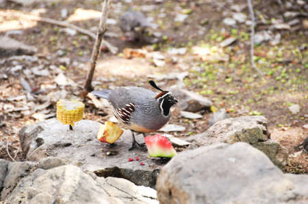 A gambels Quail eating a piece of watermelon
