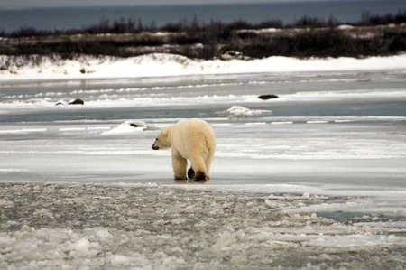 A lone polar bear walking across the ice photo