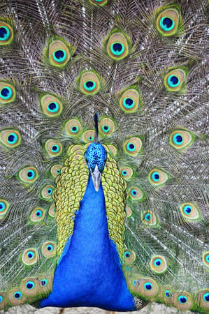 A male peacock showing off his tail feathers Stock Photo - 6571522
