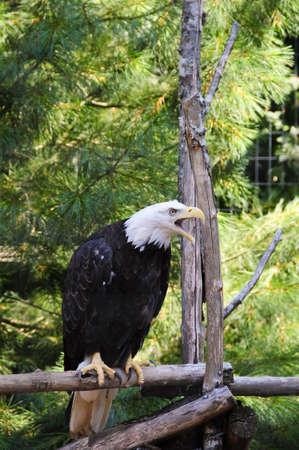 American bald eagle in captivity photo
