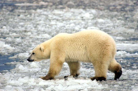 A large polar bear walking on the ice Stock Photo - 6571527
