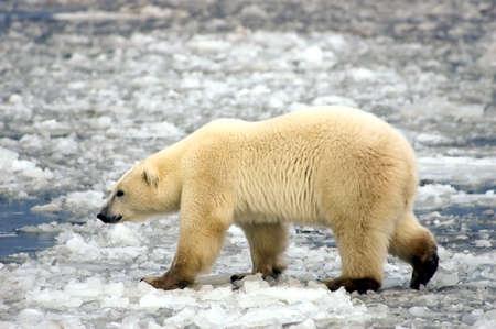 A large polar bear walking on the ice