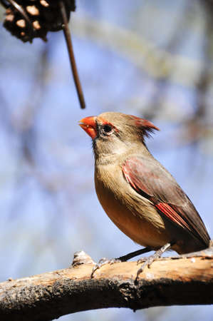 topknot: A southwestern pyrrhuloxia perched on a branch