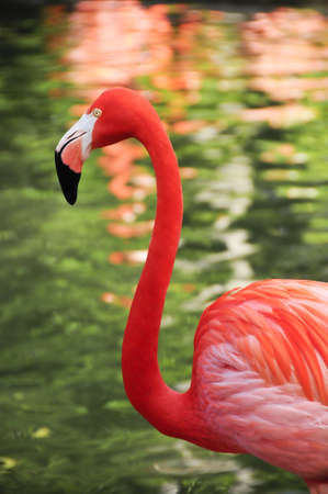 A colorful caribbean flamingo with reflections on the water