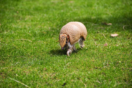 A small three banded armadillo out for a walk