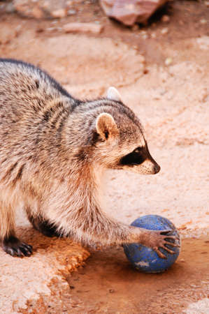 A Raccoon playing with a blue ball