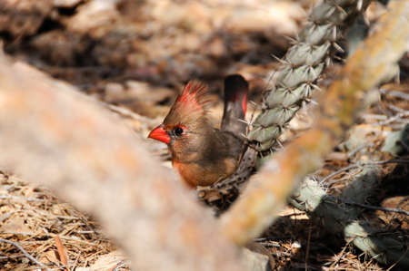 A bright pyrrhuloxia resting on the ground Stock Photo - 7162884