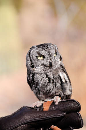 A small screech owl perched on his handlers hand photo