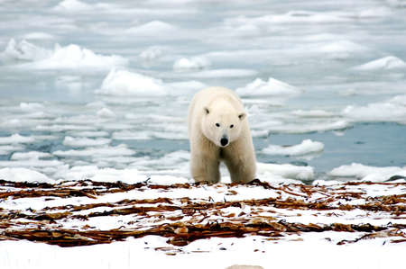 A polar bear with ice in the back ground Imagens