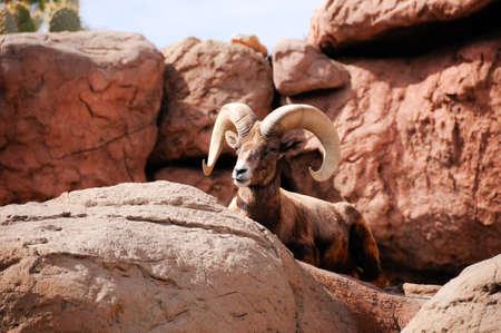 A male desert big horn sheep hiding behind a rock