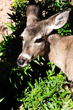 white tail deer: A close up head shot of a white tail deer