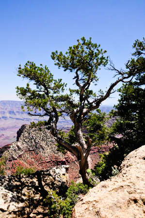 A lone tree in the rocks over looking the North rim of the Grand Canyon, Az