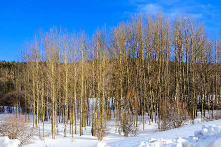A grove of aspens in a snow covered field