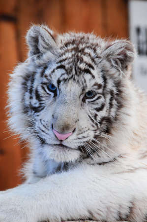 A white tiger cub with a pink nose photo