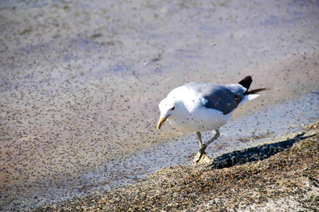 A california gull having a lunch of alkali flies.