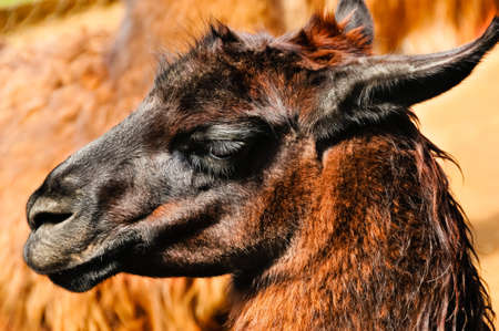 Portrait of a brown and red llama. Stock Photo - 7810579
