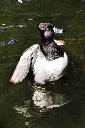 necked: Een ring hals duck opstaan zijn vleugels klapperen Stockfoto