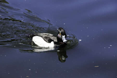 necked: A small ring necked duck swimming in a pond