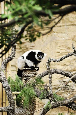 A black and white ruffed lemur peering thru the trees