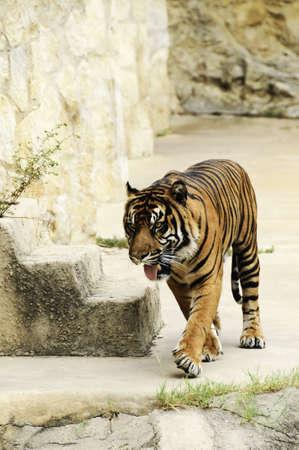 A large sumatran tiger pacing with tongue hanging out Stock Photo