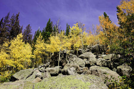 Aspens turning colors in Rocky Mountain National Park