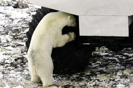 Curious polar bear looking at a tire on a tundra buggy