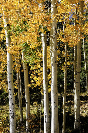 A grove of aspens turning red and yellow