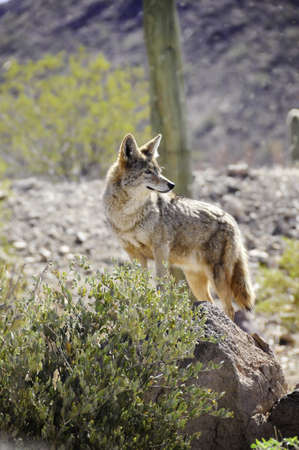A lone coyote looking over his territory