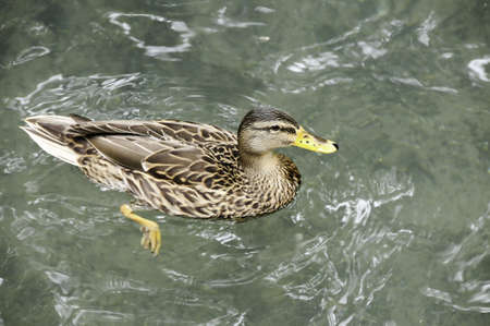 A female mallard duck swimming in a pond