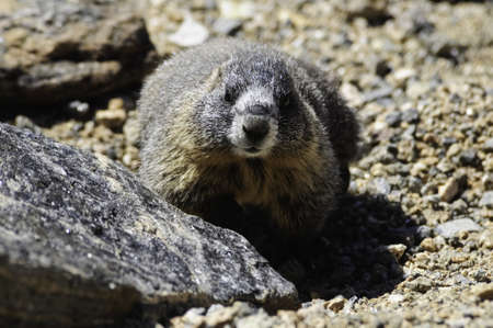 Close up of a yellow-bellied marmot