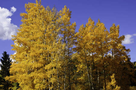 Yellow and orange aspens in fall with blue sky photo