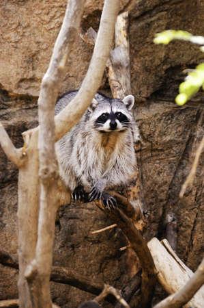 A curious raccoon standing on a limb