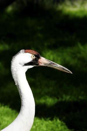 whooping: A closeup head shot of a whooping crane