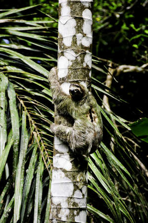 A three toed sloth climbing a tree in Costa Rica