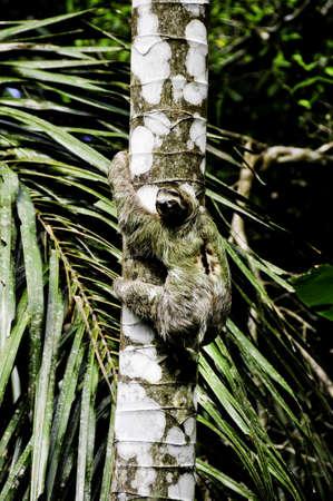 A three toed sloth climbing a tree in Costa Rica photo