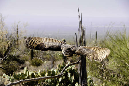 A great horned owl flying over the desert, wings showing motion photo