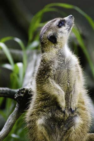 sentry: A Meerkat on sentry duty watching the sky
