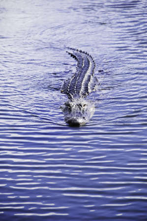 A american alligator swimming in a pond at Everglades National Park photo