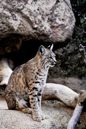 A bobcat sitting on a rock ledge Stock Photo