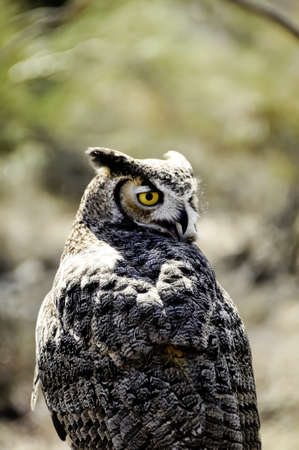 Closeup of a Great Horned Owl with beak open