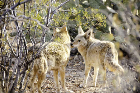 Two coyotes touching noses in the desert