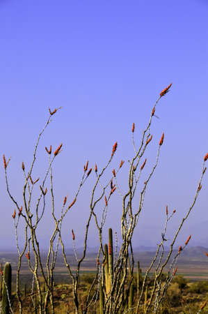 ocotillo: An ocotillo plant blooming in the desert Stock Photo