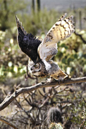 Great horned owl taking flight, wings showing motion