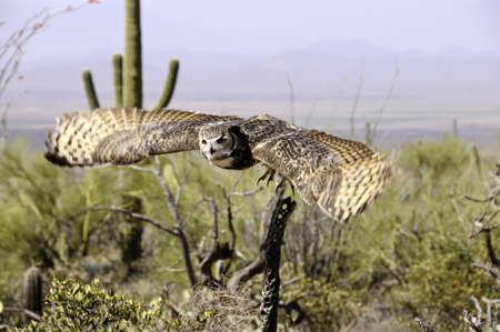 horned: Un gran autillo en vuelo sobre el desierto mostrando movimiento ala Foto de archivo