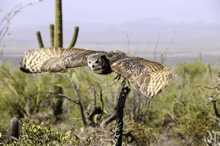 A great horned owl in flight over the desert showing wing motion