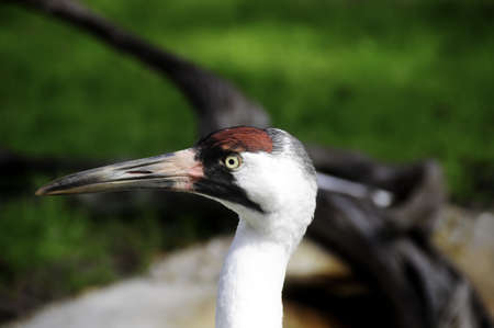 whooping: A portrait of a whooping crane