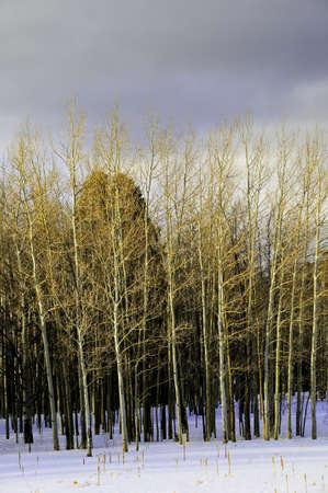Aspens against a dark sky in winter photo